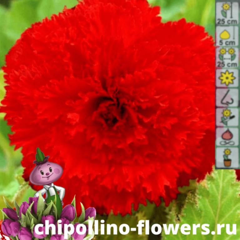 Бегония бахромчатая красная (2 клубня)