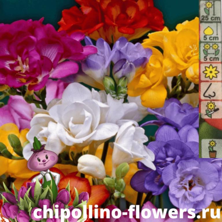 Фрезия махровая смесь окрасок (10 луковиц)