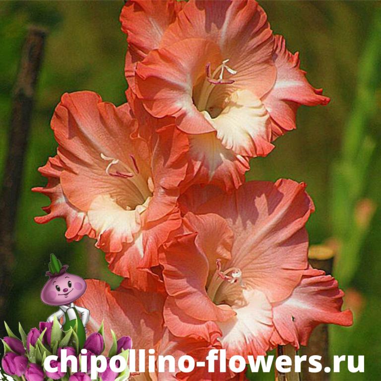 Гладиолус Cheops (5 луковиц)