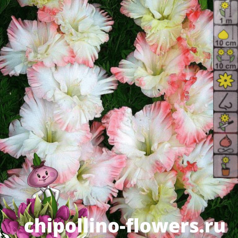Гладиолус Crispy Ruffle ( 5 луковиц )