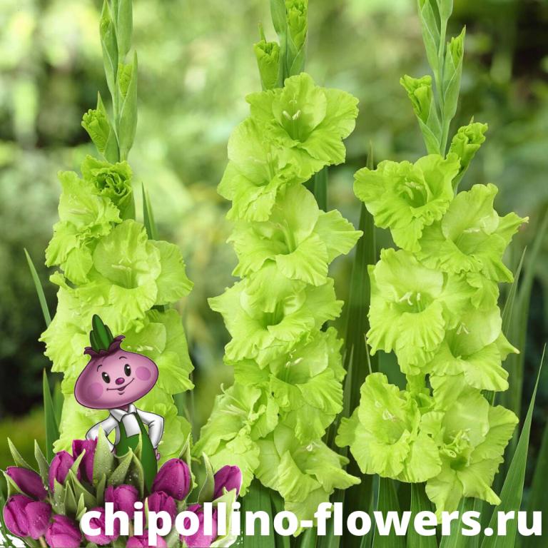 Гладиолус Green Star ( 5 луковиц)