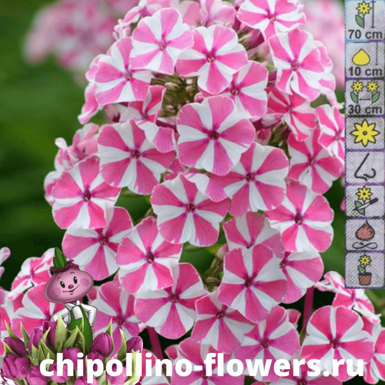 Флокс Pink Windmil