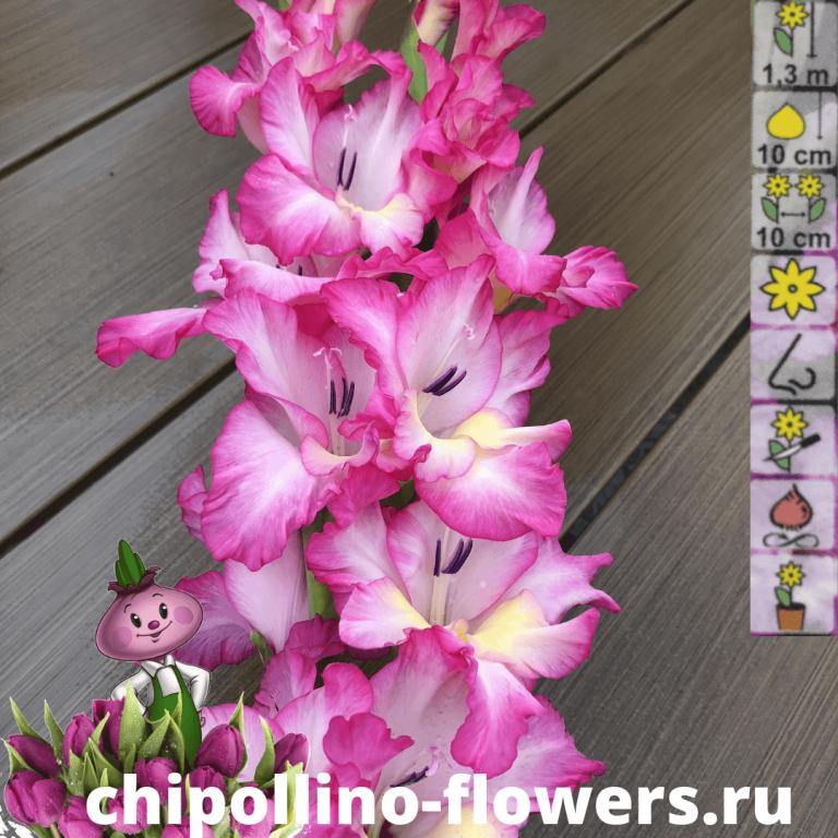 Гладиолус Priscilla (5 луковиц)