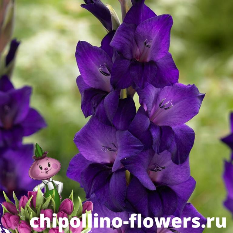 Гладиолус Purple Flora ( 5 луковиц)