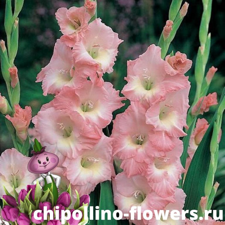 Гладиолус Rose Supreme (5 луковиц)