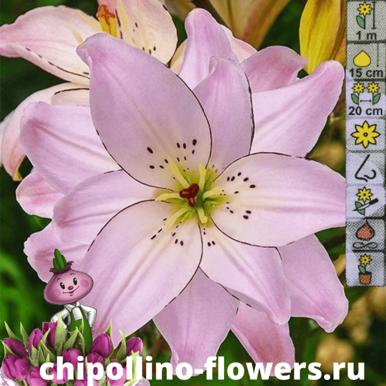 Лилия Spring Pink ( 2 луковицы )