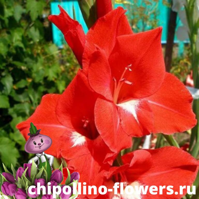 Гладиолус Traderhorn ( 5 луковиц)