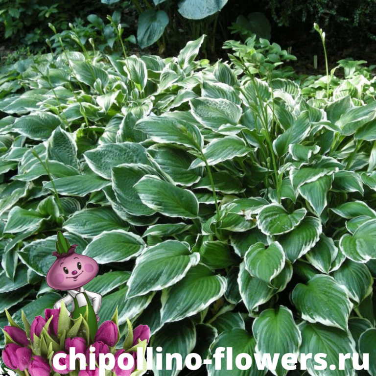Хоста Undulata Albomarginata (корень)