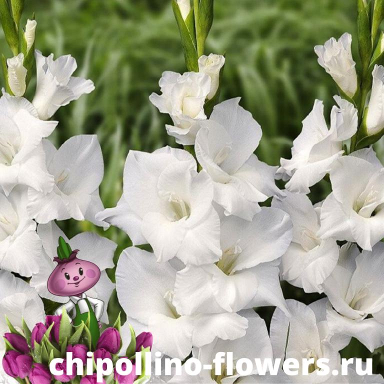 Гладиолус White Prosperity (5 луковиц)