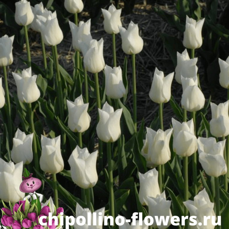 Тюльпан AGRASS WHITE ( 5 луковиц )