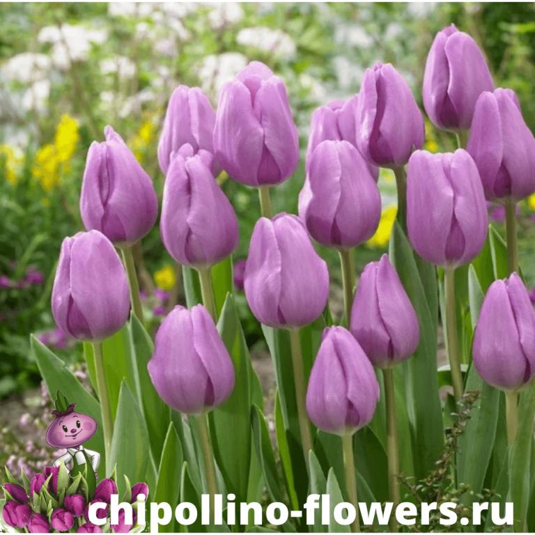 Тюльпан ALIBI ( 5 луковиц )