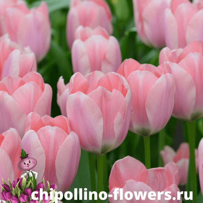Тюльпан APRICONA ( 5 луковиц )