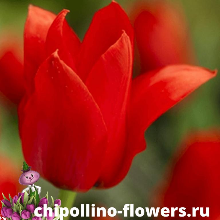 Тюльпан ALI BABA ( 5 луковиц )