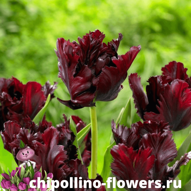 Тюльпан BLACK PARROT  ( 5 луковиц)