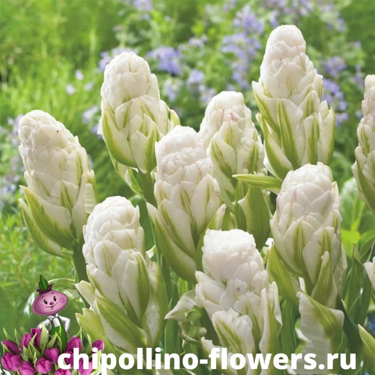 Тюльпан BROOKLYN ( 5 луковиц )