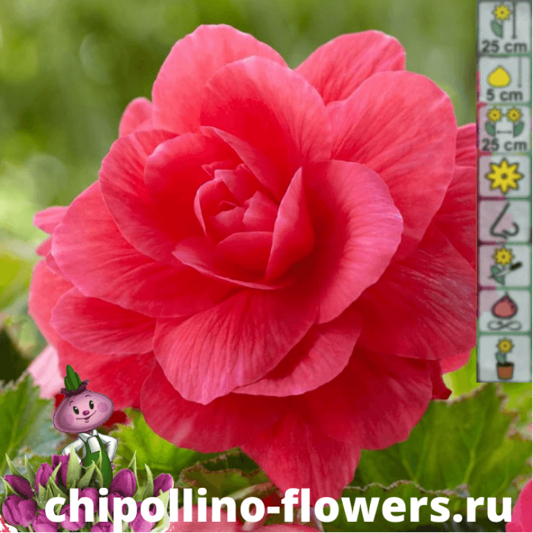 Бегония махровая розовая ( 2 клубня )