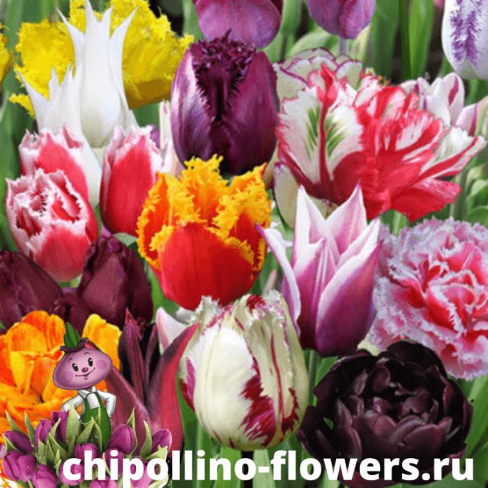 Тюльпаны DE LUXE MIX ( 10 луковиц )