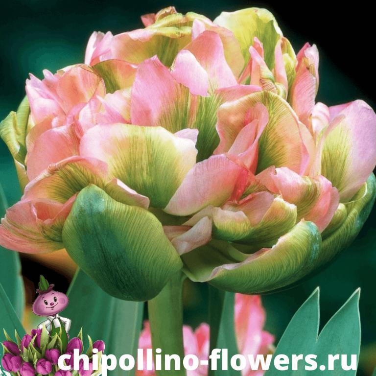 Тюльпан DOUBLE VIRI ( 5 луковиц )