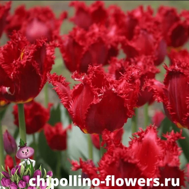 Тюльпан FRINGED LION KING ( 5 луковиц )