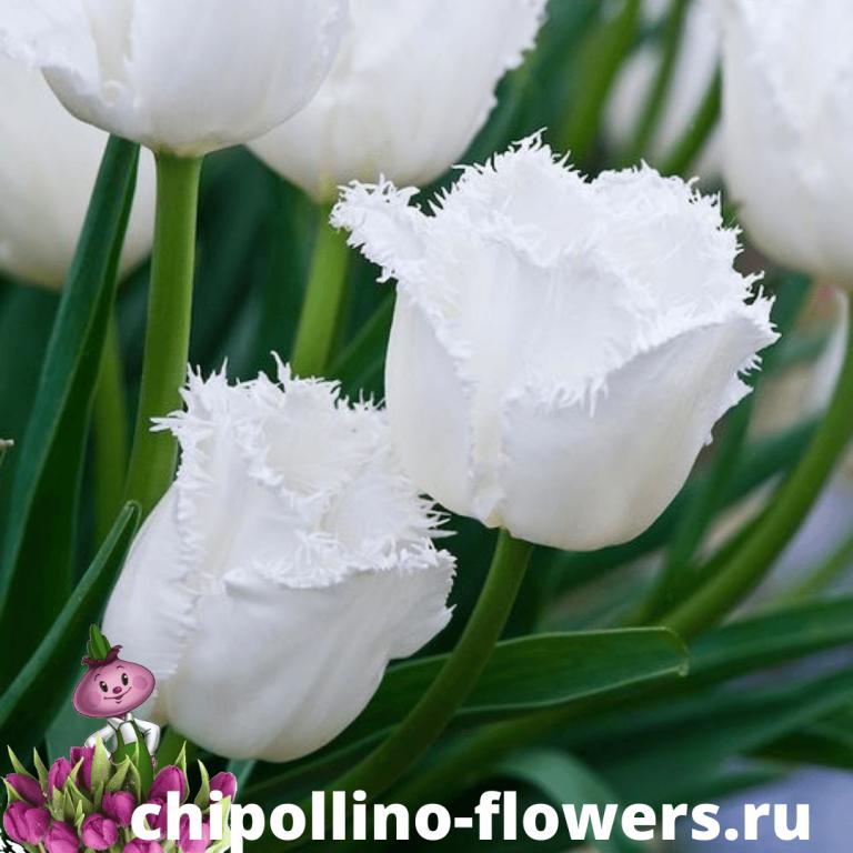 Тюльпан HONEYMOON FRINGED ( 5 луковиц )
