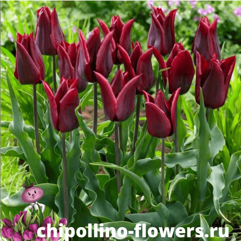 Тюльпан LASTING LOVE ( 5 луковиц )