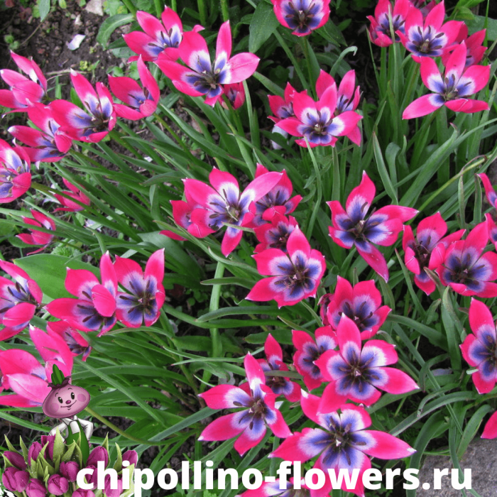 Тюльпан LITTLE BEAUTY ( 5 луковиц )