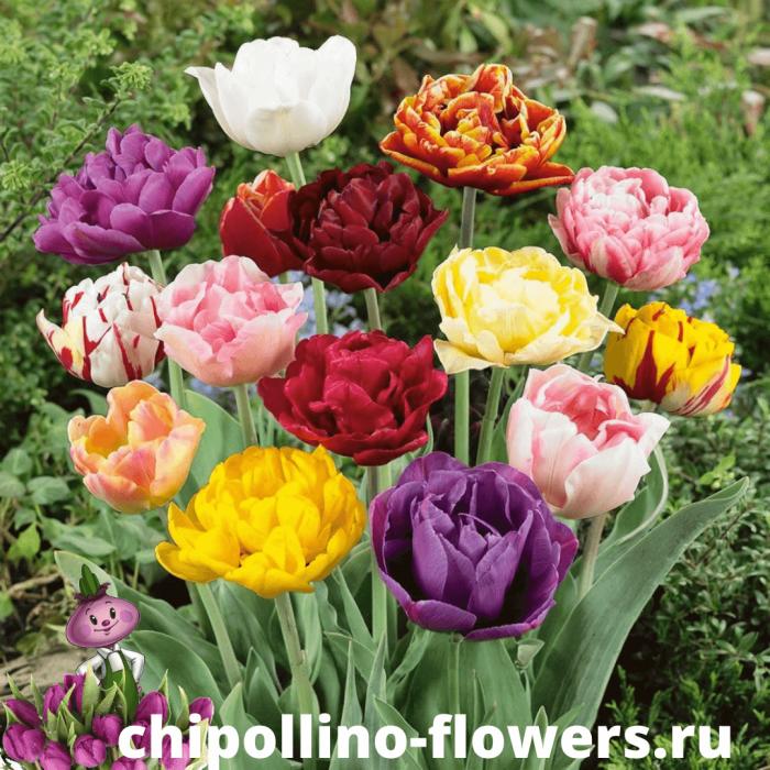 Тюльпаны Махровый Микс ( 10 луковиц )