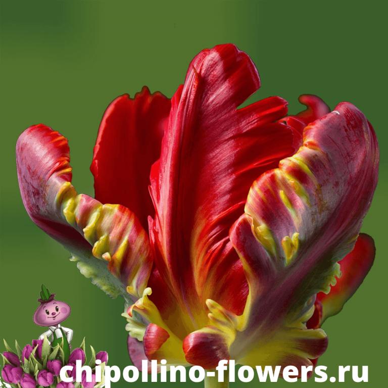 Тюльпан PARROT ROCOCO ( 5 луковиц )