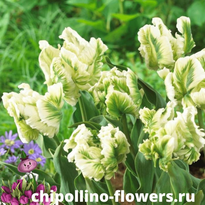 Тюльпан PARROT SUPER PARROT ( 5 луковиц )