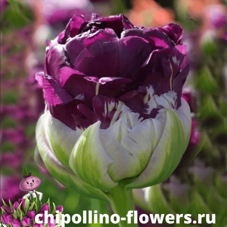 Тюльпан PURPLE PEONY ( 5 луковиц )
