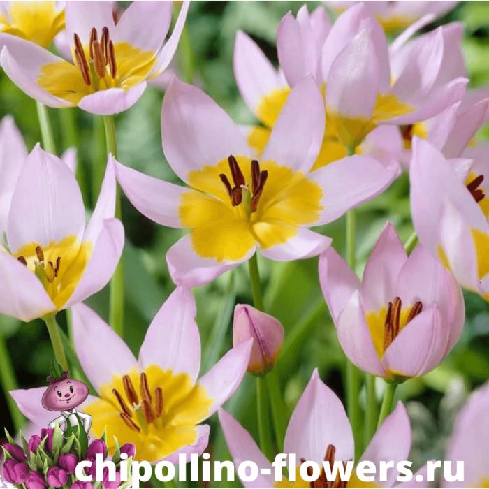 Тюльпан SAXATILLIS  ( 5 луковиц )