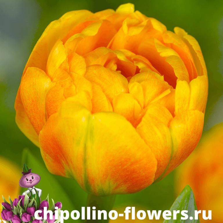 Тюльпан SUNLOVER ( 5 луковиц )