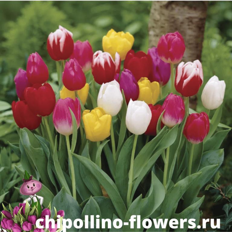 Тюльпаны TRIUMPH MIX ( 10 луковиц )