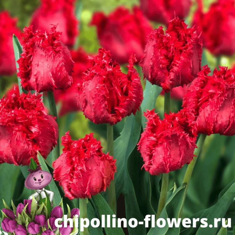 Тюльпан BARBADOS ( 5 луковиц)