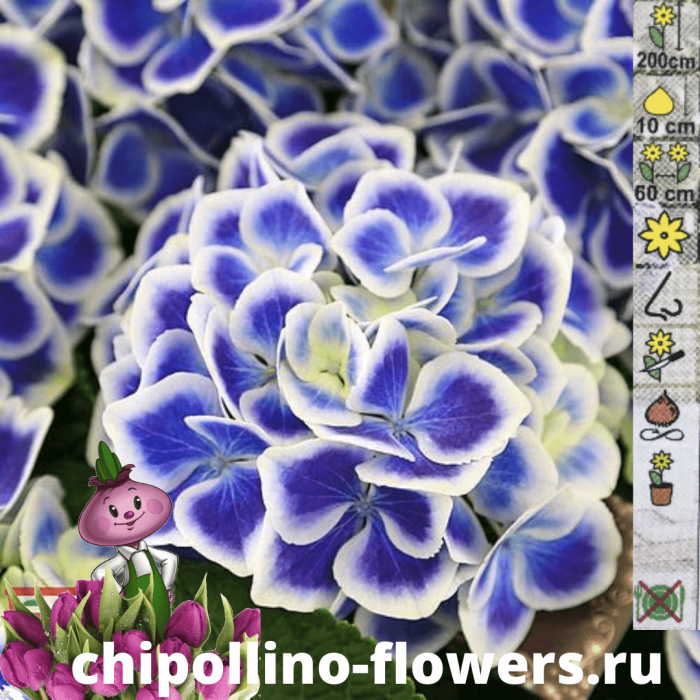 Гортензия Bicolor blue-white