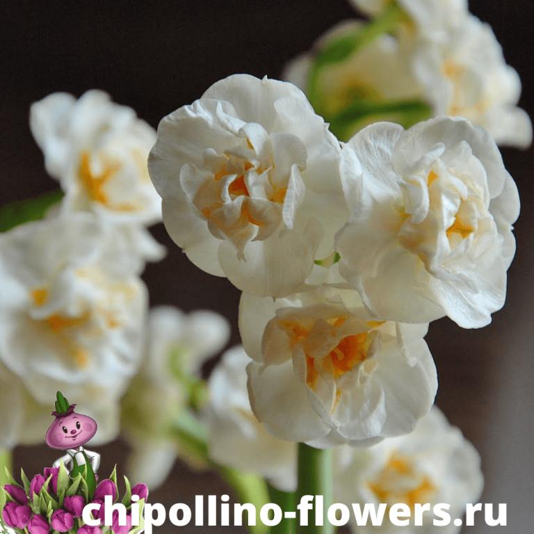 Нарцисс BRIDAL CROWN ( 3 луковицы )
