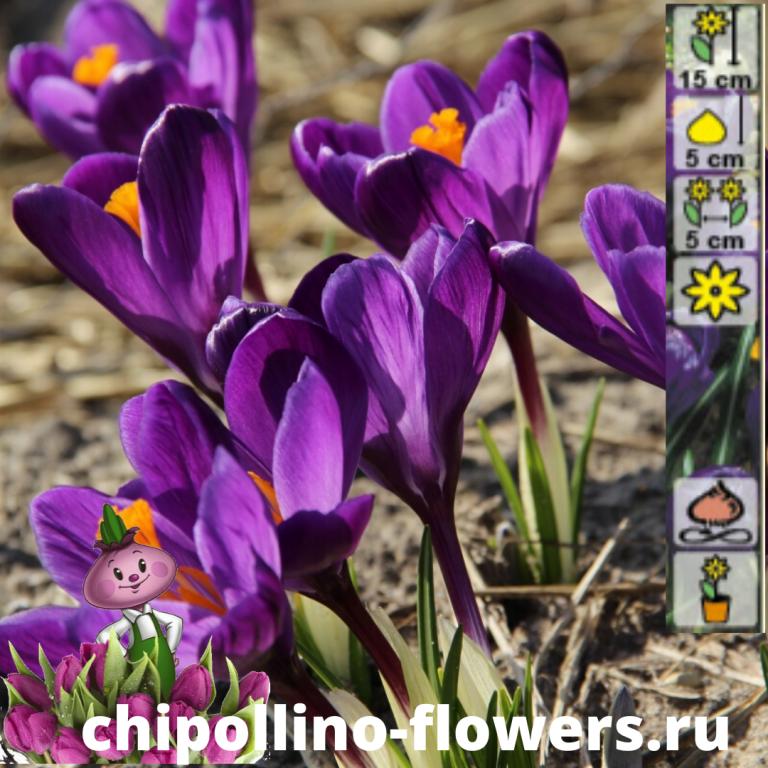 Крокус Flower Record ( 10 луковиц)