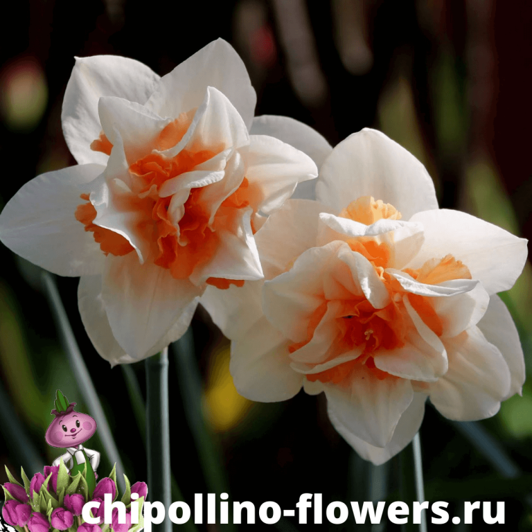Нарцисс REPLETE ( 3 луковицы )