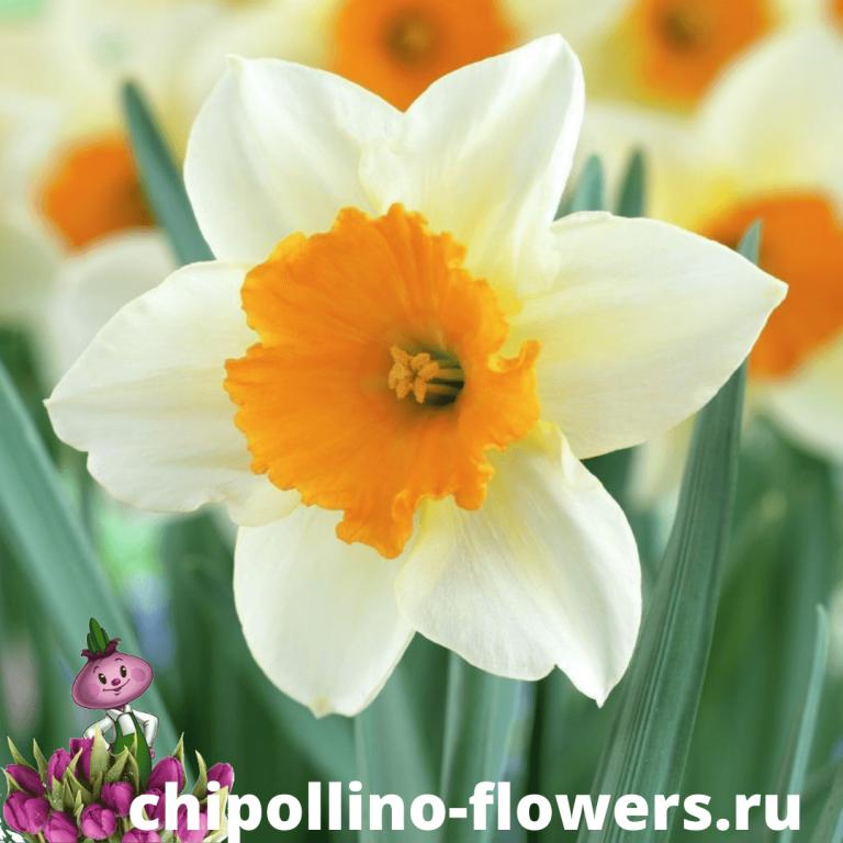 Нарцисс FLOWER RECORD ( 3 луковицы )