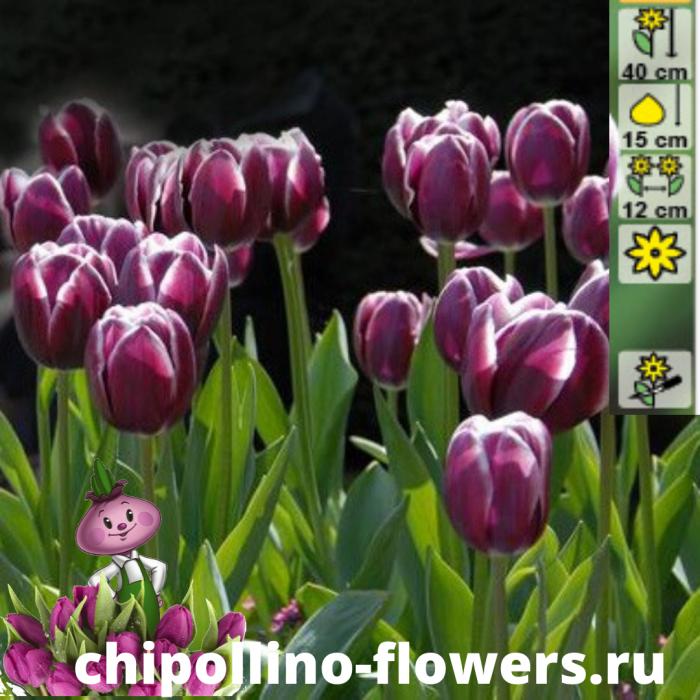Тюльпан Alexander Pushkin ( 5 луковиц)