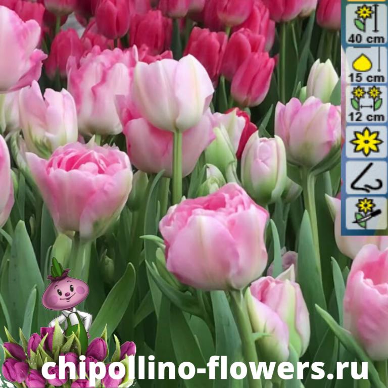 Тюльпан Angelique  ( 5 луковиц)