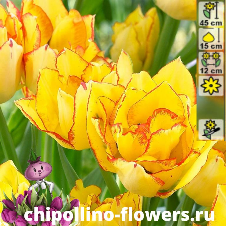 Тюльпан Aquilla ( 5 луковиц)