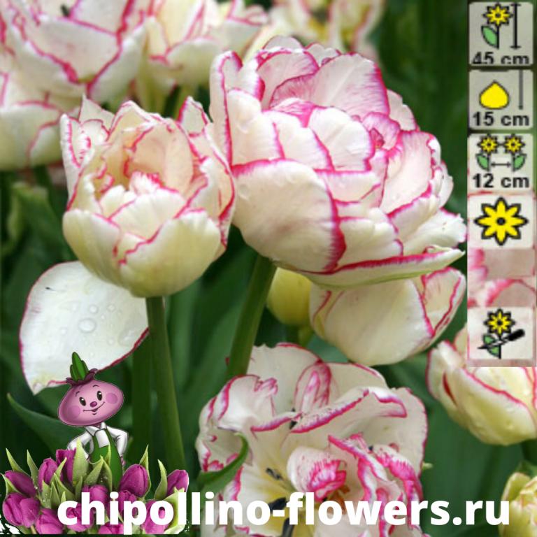 Тюльпан Belicia ( 5 луковиц)