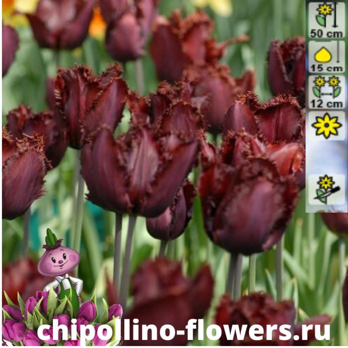 Тюльпан Black jewel  ( 5 луковиц)