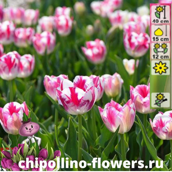 Тюльпан Blenda flame  ( 5 луковиц)