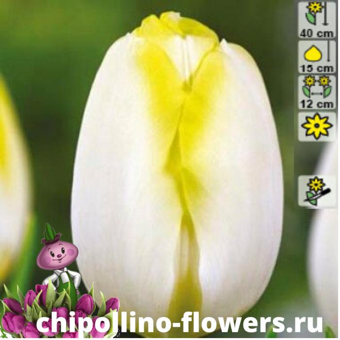 Тюльпан Bolroyal silver ( 5 луковиц)