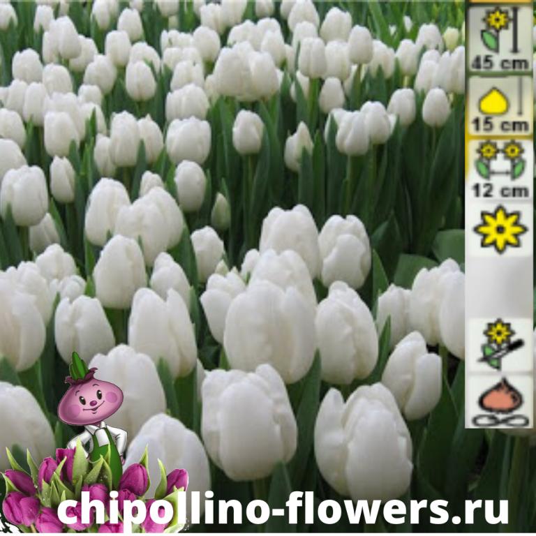 Тюльпан Darwisnow ( 5 луковиц)