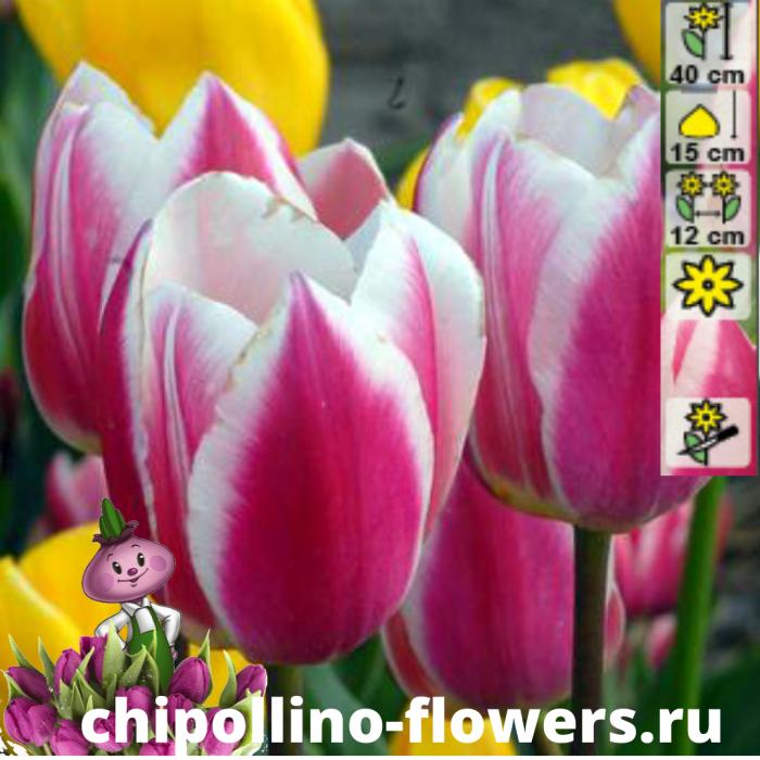 Тюльпан Early surprise ( 5 луковиц)