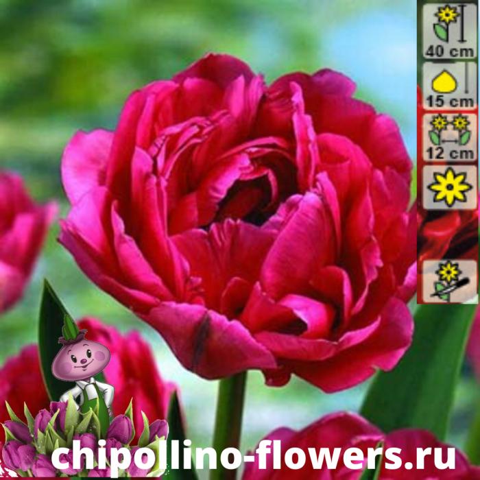 Тюльпан Emblazon  ( 5 луковиц)