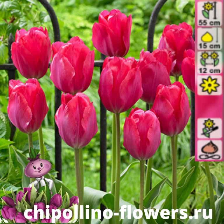 Тюльпан Lady van Eijk ( 5 луковиц)